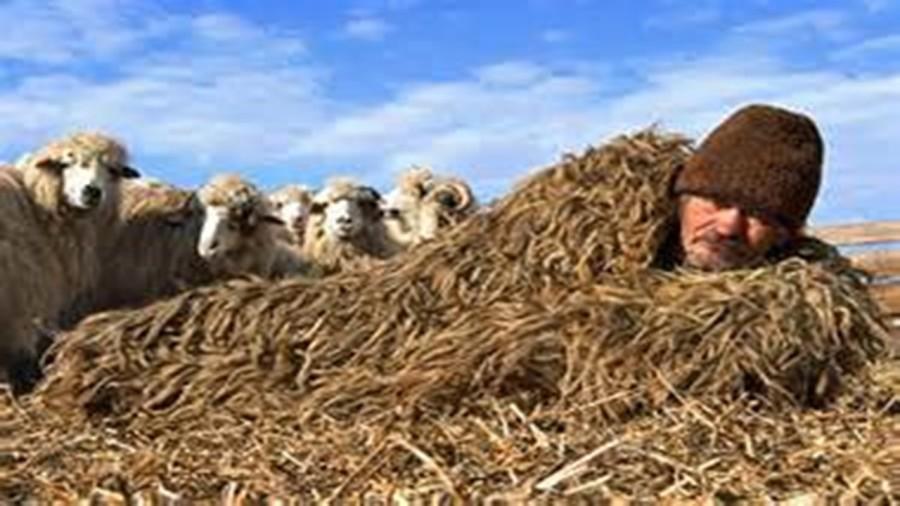 Sheepntation1